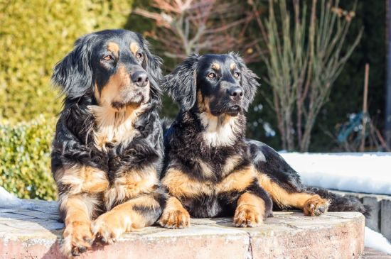 hovawart black&tan puppy picture