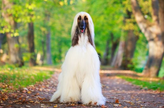 afghan hound cream picture