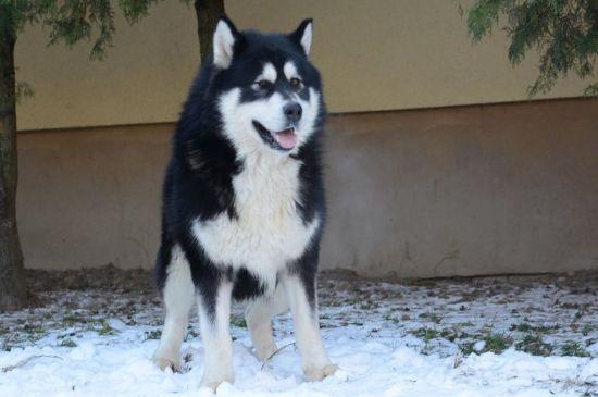 White with black Alaskan Malamute Image