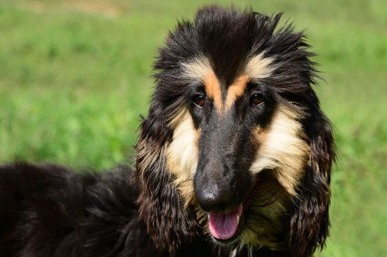 afghan hound black&tan picture