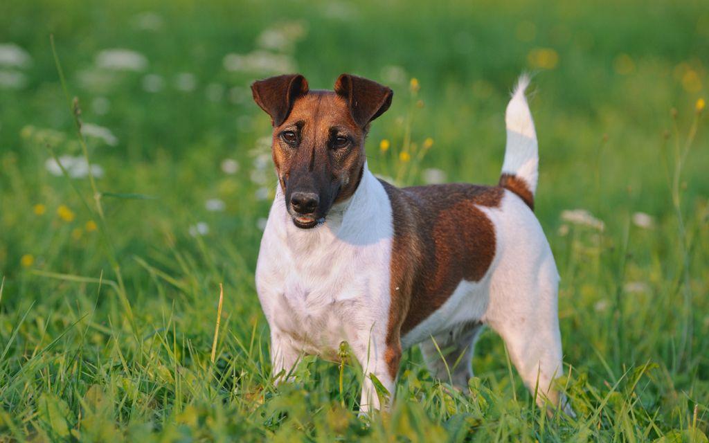 fox terrier ginger image