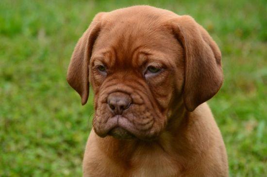 dogue de bordeaux puppy image