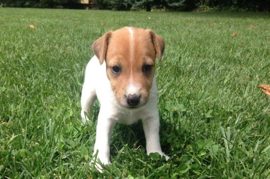 jack russel puppy image