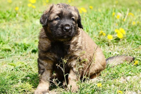 leonberger fawn puppy image