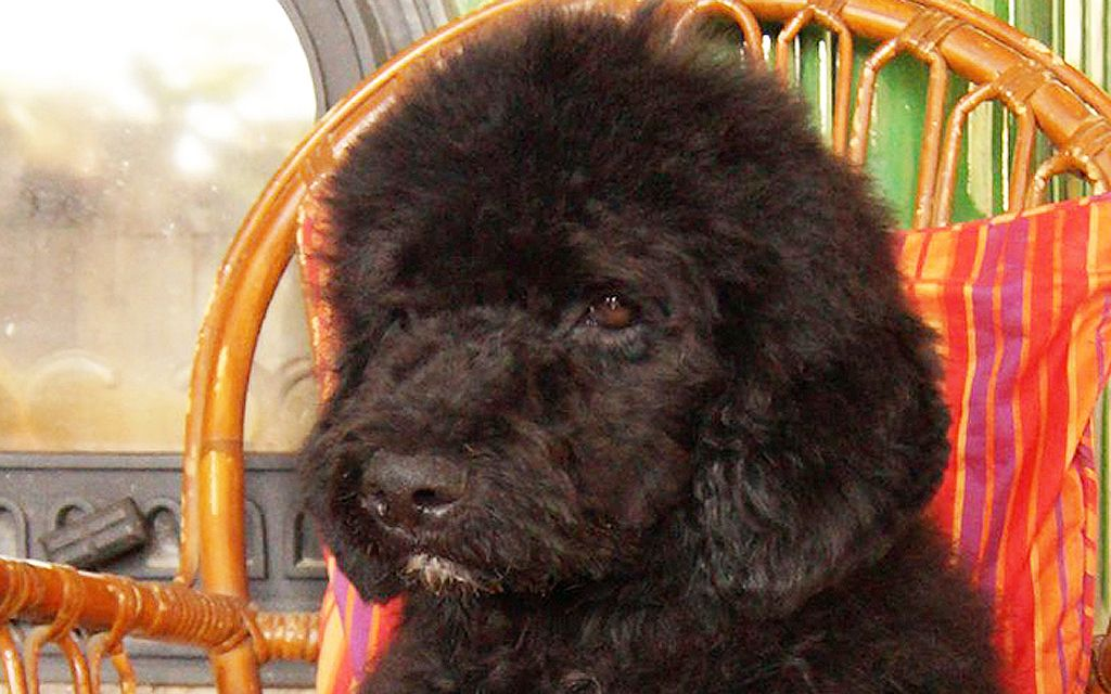 portuguese water dog black puppy image