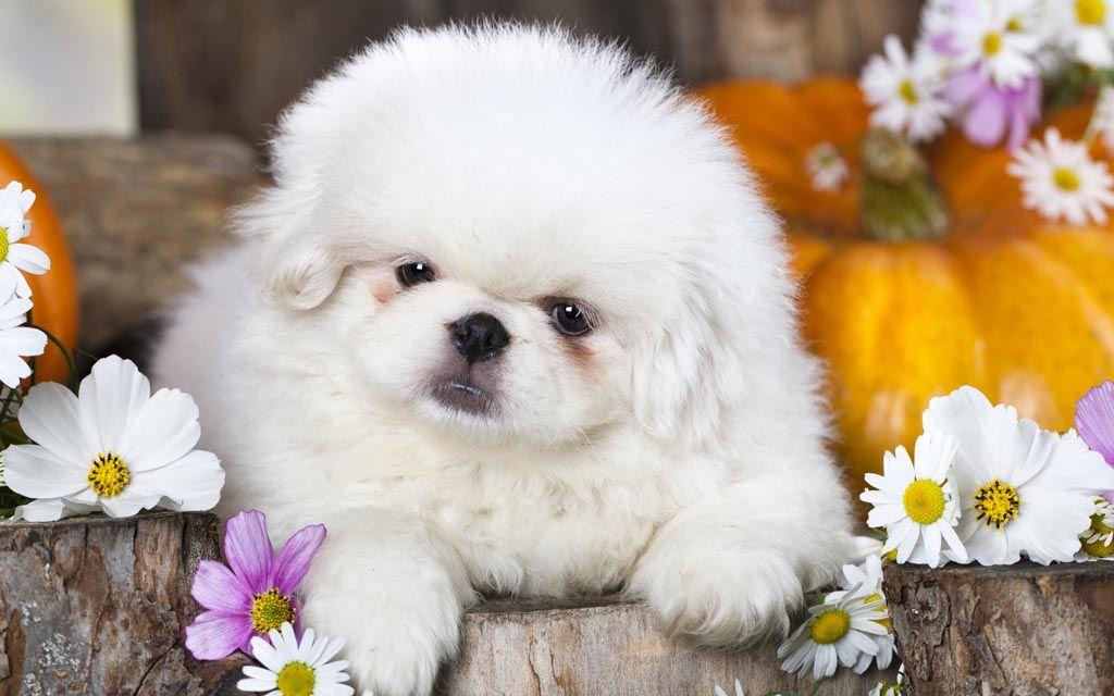 pekingese white puppy image