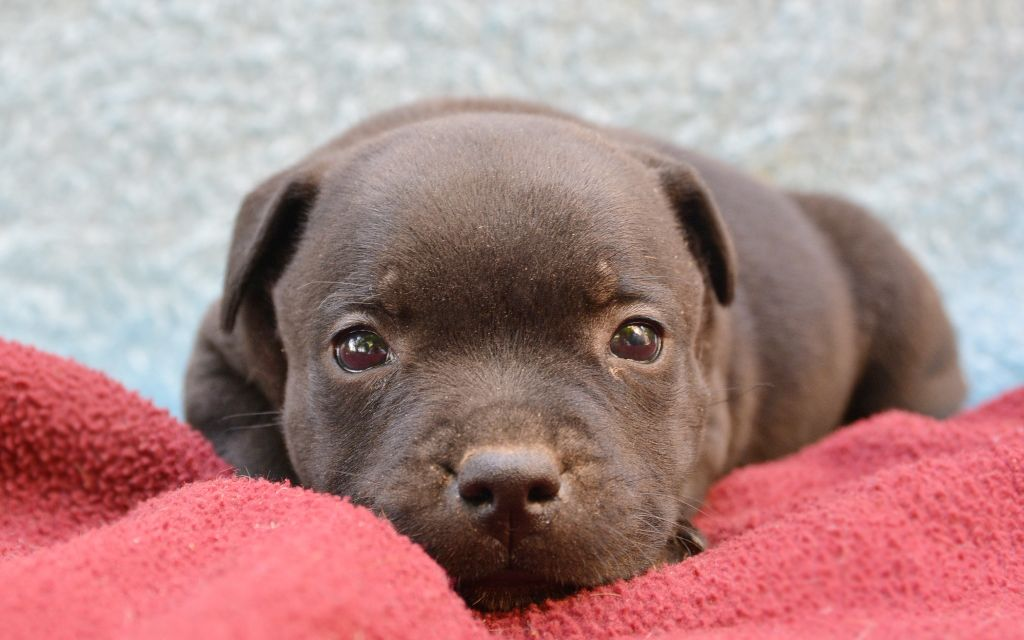 staffordshire bull terrier fawn puppy image