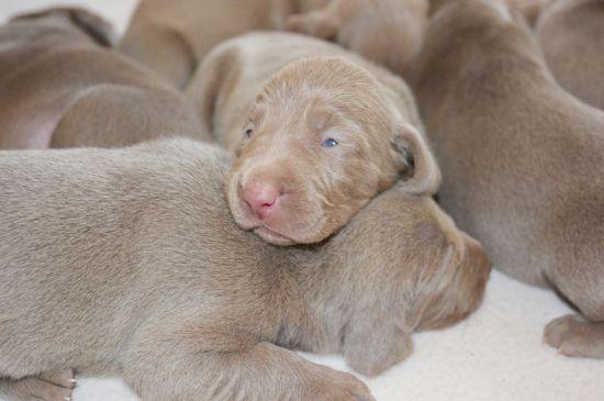 weimaraner grey puppies picture