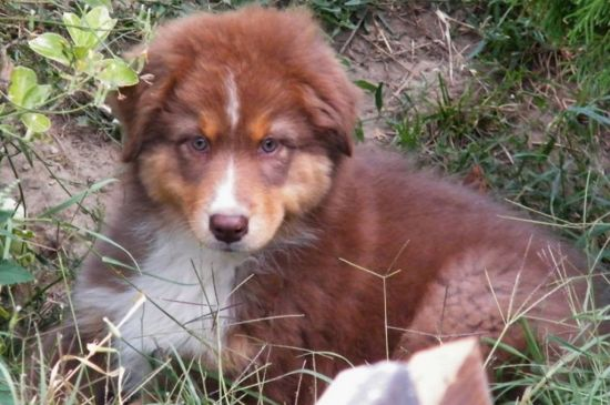 australian shepherd red puppy picture