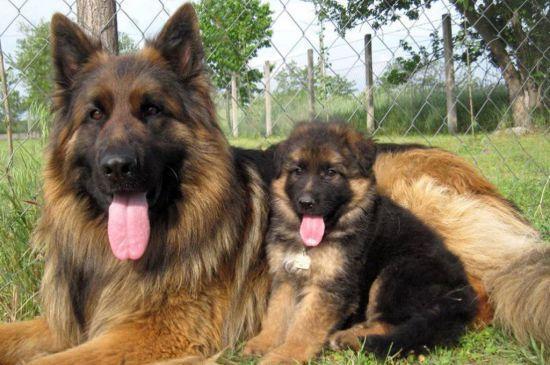 german shepherd black&tan puppy image