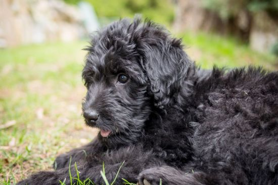 labradoodle black puppy image