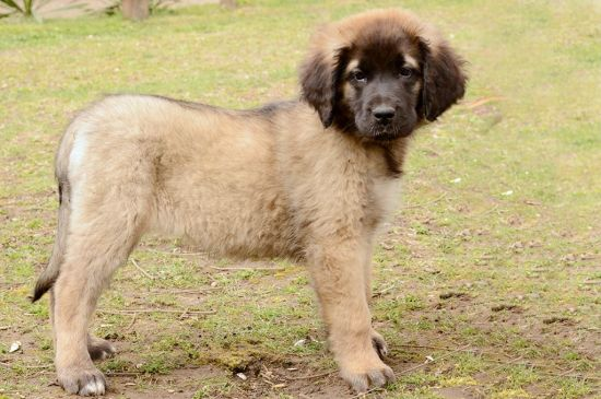 leonberger fawn puppy picture