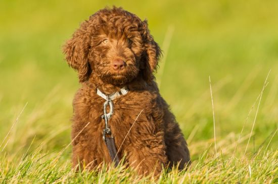 labradoodle chocolate puppy picture