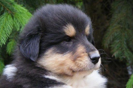 collie black white & tan puppy picture