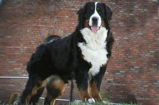 bernese mountain dog black&tan picture