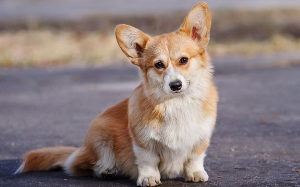 Red andWhite Welsh Corgi image