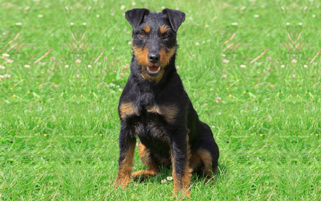 Jagd terrier picture
