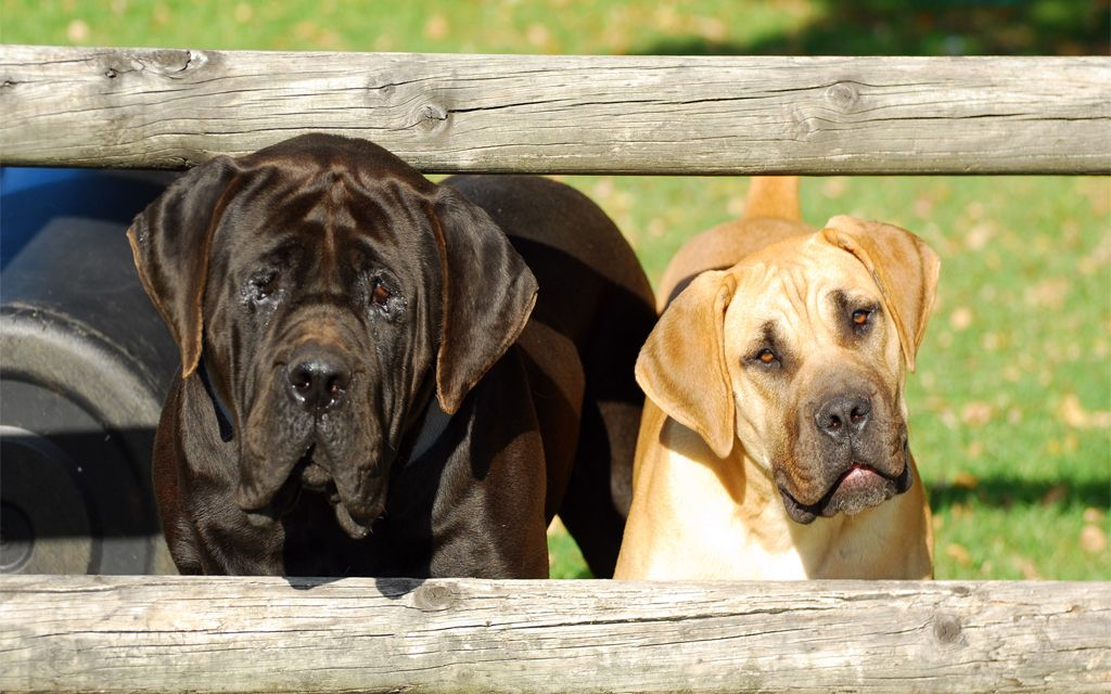 Red and Black Boerboel picture