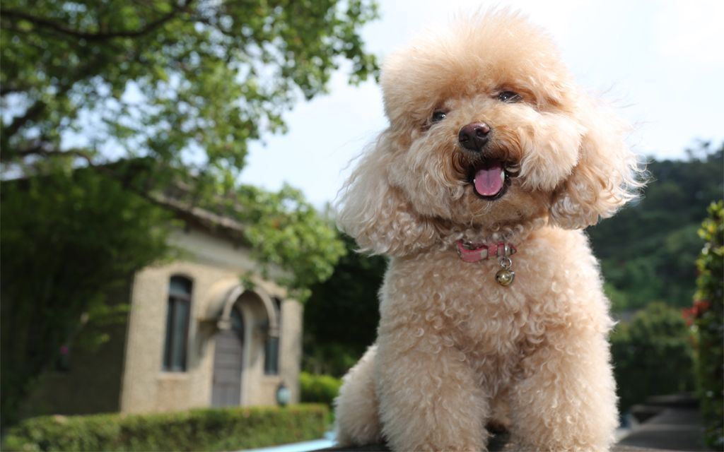 Best Toy Breed Dog That Is Not Nervous