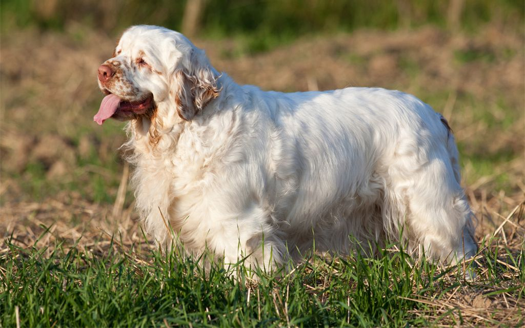 White with markings Clumber Spaniel picture