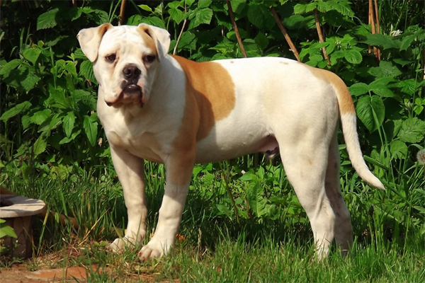 White with marking American Bulldog image