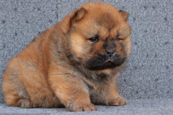 Red Chow Chow Puppy image