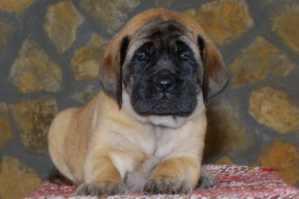Sand English Mastiff Puppy picture