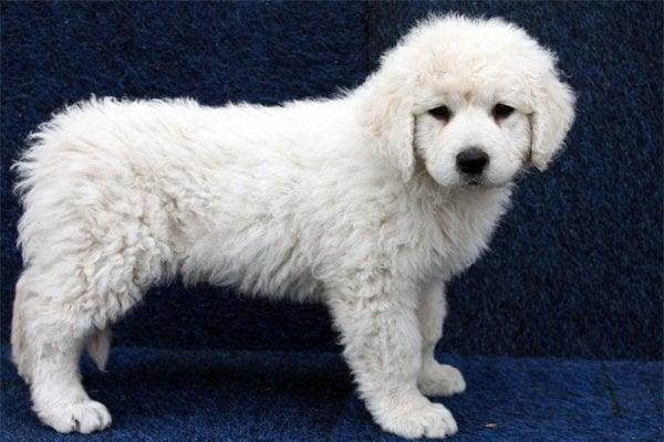 Kuvasz Puppy picture