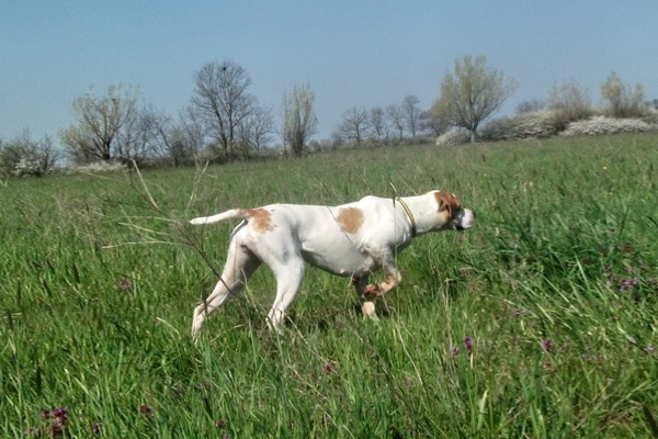 White with markings Pointer picture