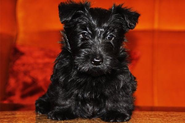 Black Scottish Terrier Puppy image
