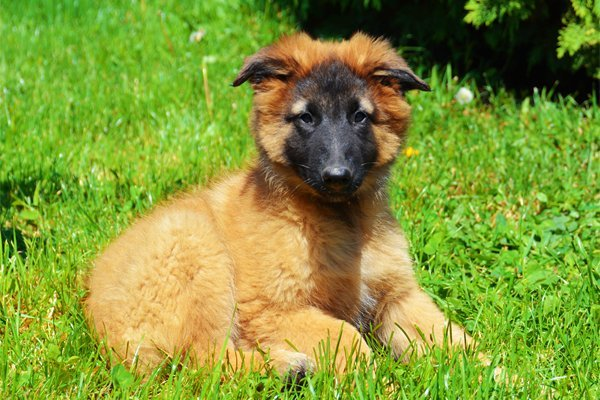Red Belgian Shepherd Tervueren picture