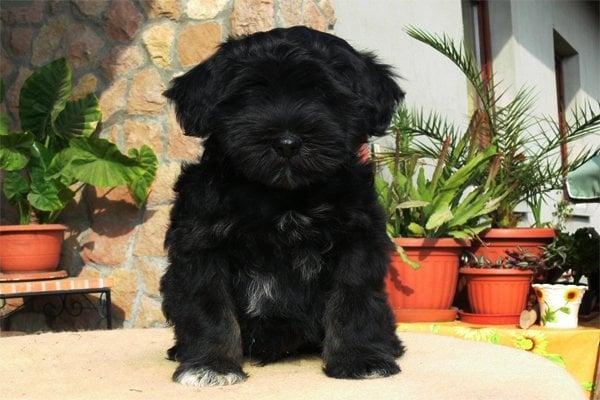 Black Tibetan Terrier Puppy picture