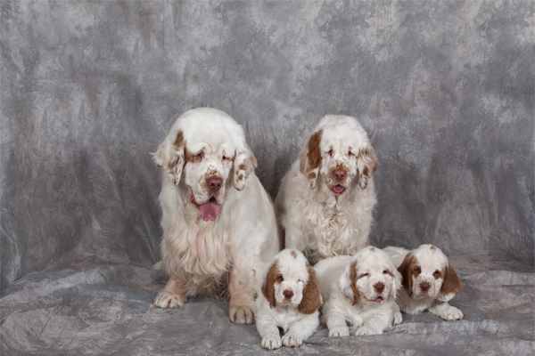 White with markings Clumber Spaniel Puppies picture