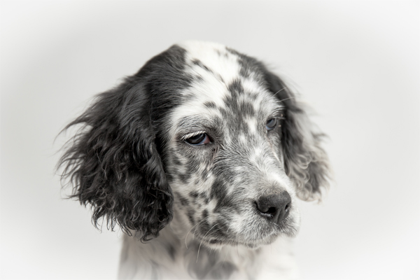 White with markings English Setter Puppy image