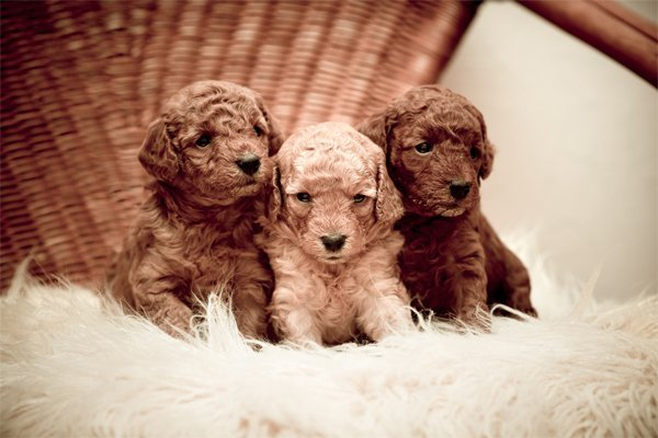 Toy Poodle Puppies picture