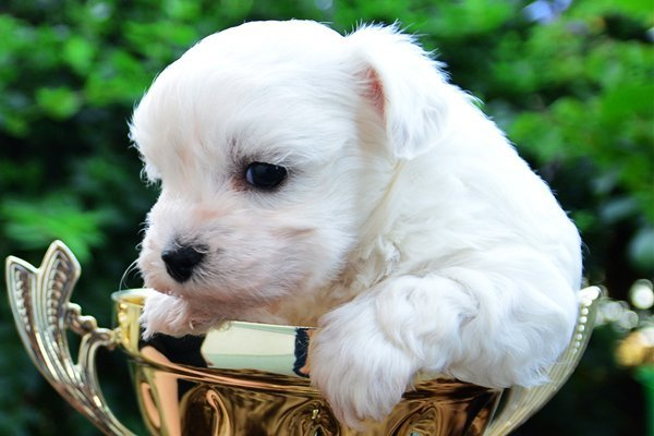 Bolognese Puppies Breed Information Puppies For Sale