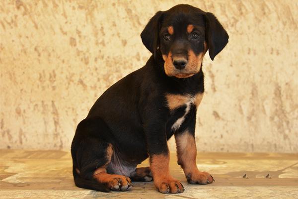 Black and Tan Transylvanian Hound Puppy image