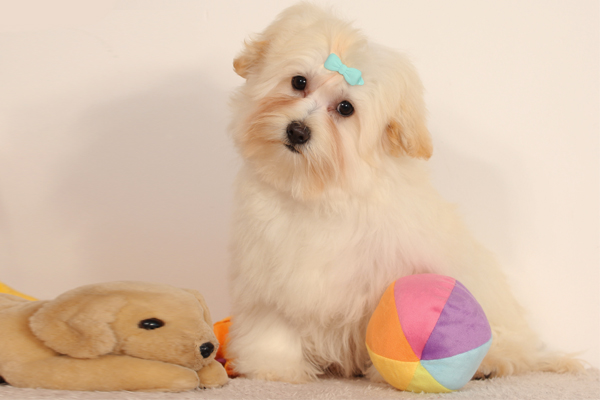 Cream Havanese Puppy picture
