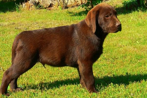 Labrador Puppy picture