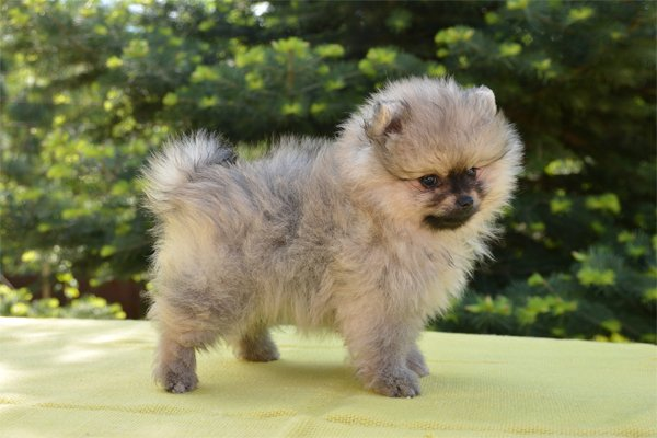 Pomeranian Puppies Breed Information Puppies For Sale