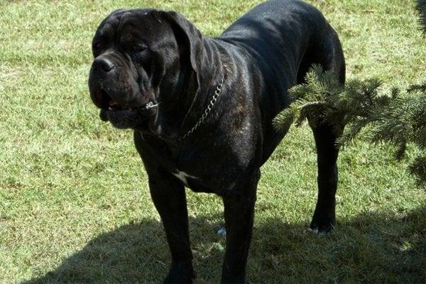 Black Cane Corso picture