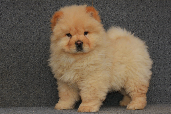 Red Chow Chow Puppy picture
