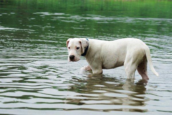 White Dogo Argentino image