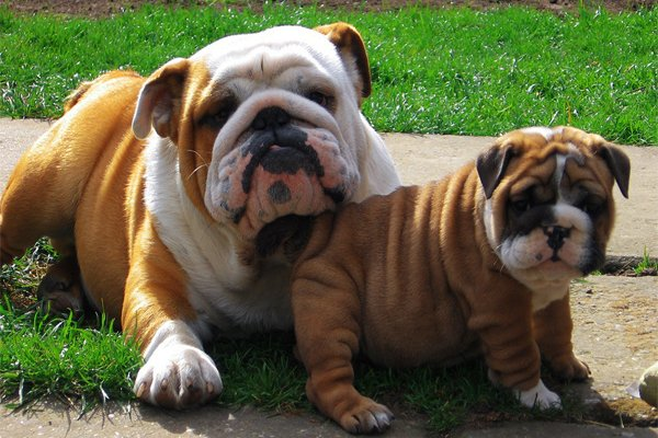 Red with MarkinsgEnglish Bulldog picture