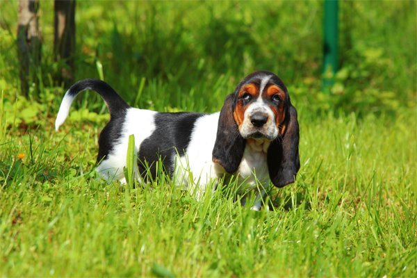 Tricolor Basset Hound Puppy picture