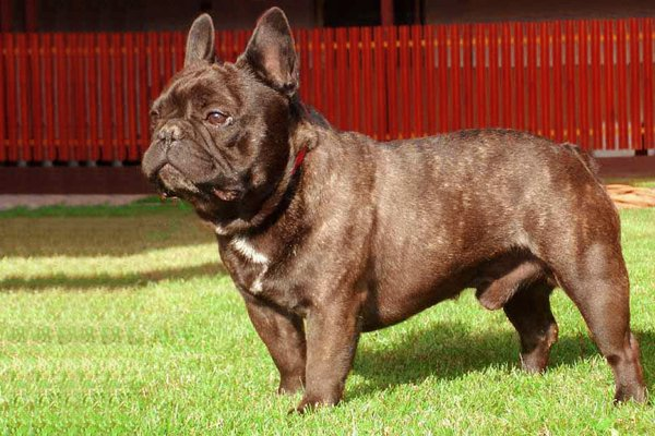 Chocolate French Bulldog picture