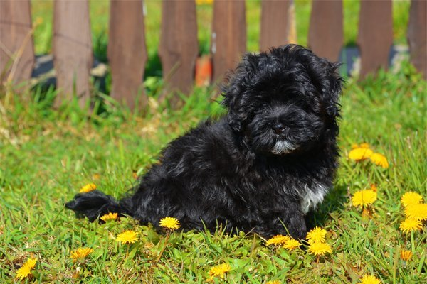 Black Havanese Puppy picture