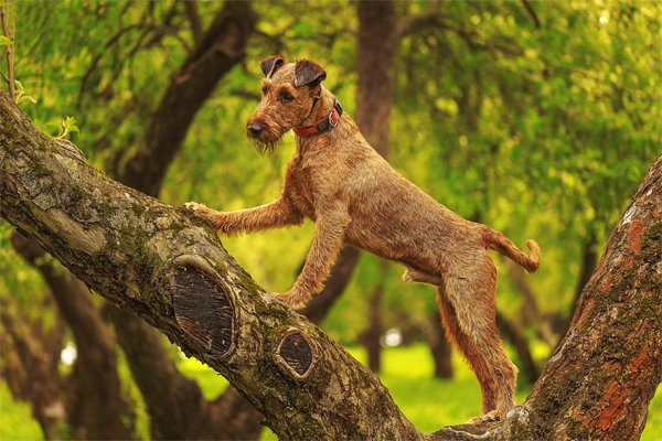 Red Irish terrier picture