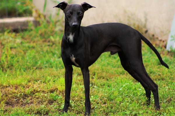 Black Italian Greyhound Picture