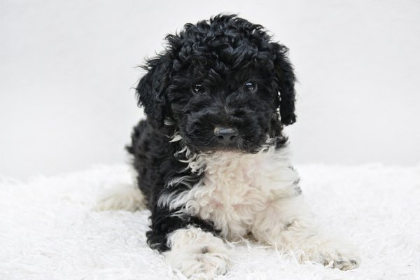 Harley Quin Miniature Poodle Puppy picture